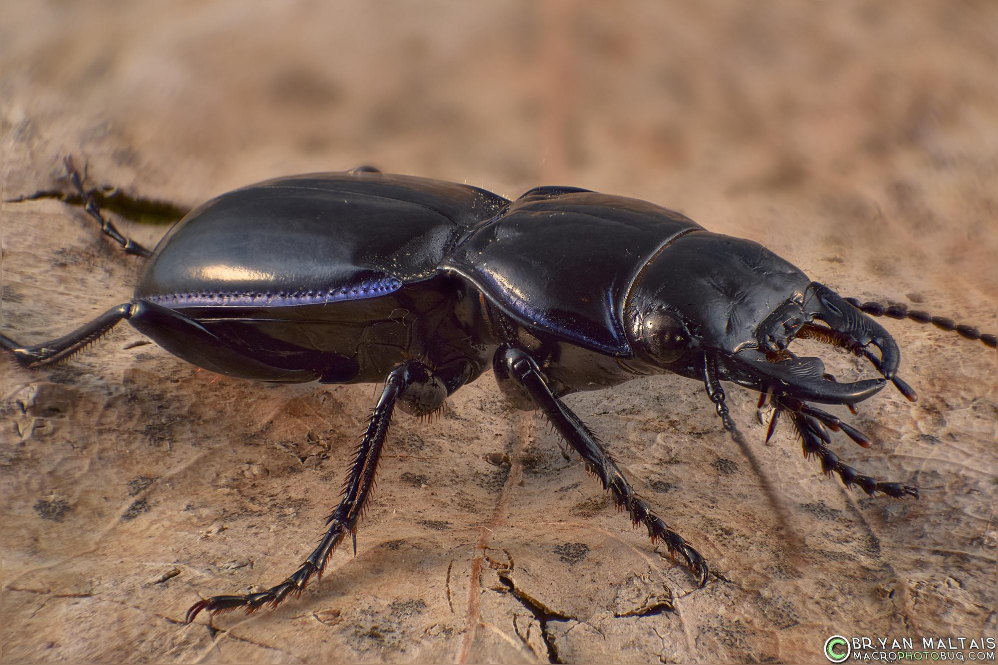Ground Beetle Macro Photography